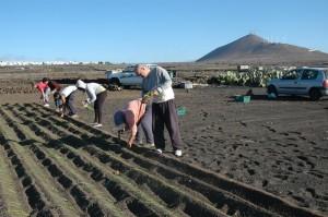Plantando cebollino en Güime.