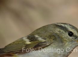 Mosquitero bilistado Phylloscopus inornatus