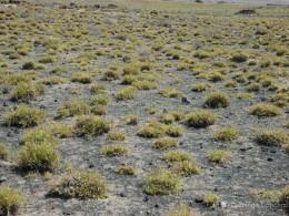 Pastizales de grama Cenchrus ciliaris