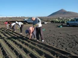 Plantando cebollino