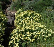 argyranthemum-maderensis