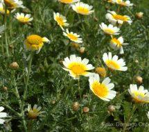 argyranthemum-sp