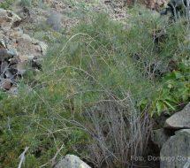 asparragus-arborescens