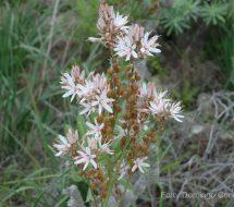 asphodelus-ramosus-gamona-01