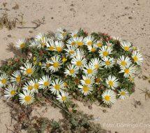 asteriscus-schultzii-tojia-blanca