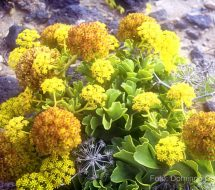 astydamia-latifolia-lechuga-de-mar