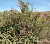 campylanthus-salsoloides
