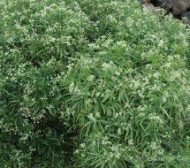 ceballosia-fruticosa