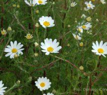 chrysanthemum-coronarium-pajo-gato