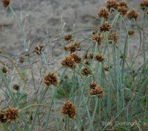 cyperus-capitatus-junquillo-00