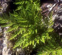 davalia-canariensis-helecho-pata-de-gallo