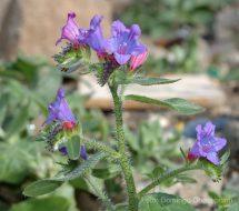 echium-lancerottense-01-bb