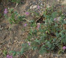 erodium-circutarium
