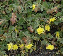 helianthemum-canariense-turmero