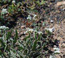 heliotropium-ramosissimum-camellera
