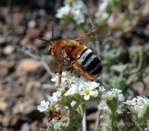 heliotropium-ramosissimum-insecto-b