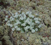 lobularia-canariensis