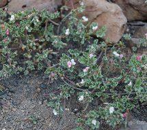 lotus-arabicus