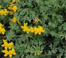 lotus-lancerottensis-hierba-muda-01