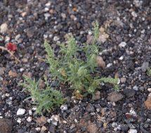 oligomeris-linifolia-romerillo-manso