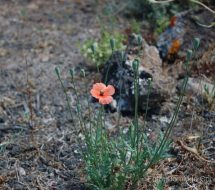 papaver-pinnatifidum-amapola-fina