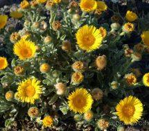 pulicaria-canariensis-01
