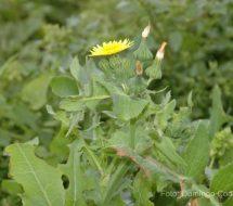 sonchus-oleraceus-cerrajon-00