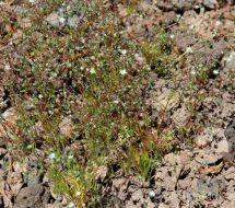 spergularia-arvensis-01
