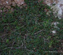 thymus-origanoides-oregano-salvaje-0