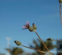 volutaria-tubuliflora-cardo-de-costa