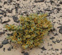 zygophyllum-fontanesii-uva-de-mar